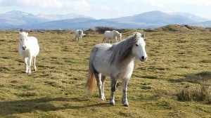 Wild ponies near Newborough forest