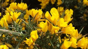 Spring gorse in full bloom